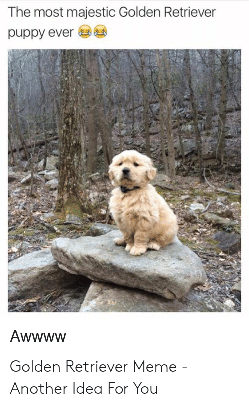 Meme, Golden Retriever, and Puppy: The most majestic Golden Retriever  puppy ever Golden Retriever Meme - Another Idea For You