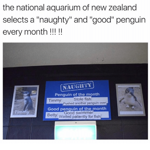 """Aquarium, Fish, and Good: the national aquarium of new zealand  selects a """"naughty"""" and """"good"""" penguin  every month!!!!  NAUGHTY  Penquin of the month  Timmy  Stole fish  Pushed another penguin over  Good penquin of the month  Timmy  Good swimmer  Bety Waited patiently for fish"""