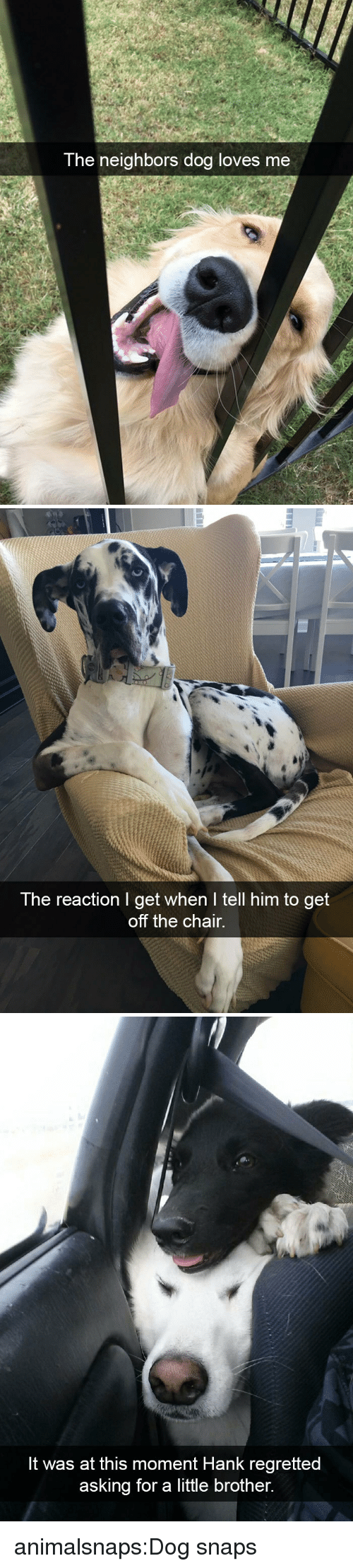 Hank: The neighbors doa loves me   The reaction I get when I tell him to get  off the chair.   It was at this moment Hank regretted  asking for a little brother. animalsnaps:Dog snaps