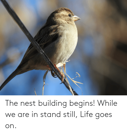 life goes on: The nest building begins! While we are in stand still, Life goes on.