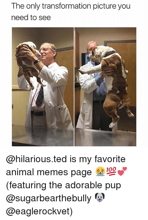 Memes, Ted, and Animal: The only transformation picture you  need to see @hilarious.ted is my favorite animal memes page 😭💯💕(featuring the adorable pup @sugarbearthebully 🐶 @eaglerockvet)