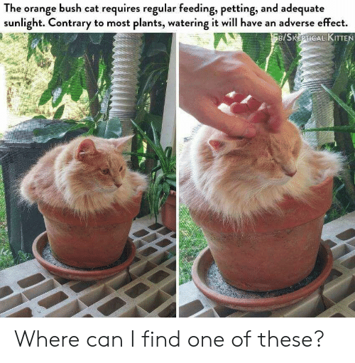 contrary: The orange bush cat requires regular feeding, petting, and adequate  sunlight. Contrary to most plants, watering it will have an adverse effect.  B/SKEPTICAL KITTEN Where can I find one of these?
