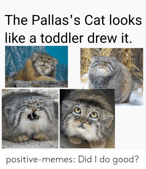 Memes, Tumblr, and Blog: The Pallas's Cat looks  like a toddler drew it.  LIsa Hubbard positive-memes:  Did I do good?