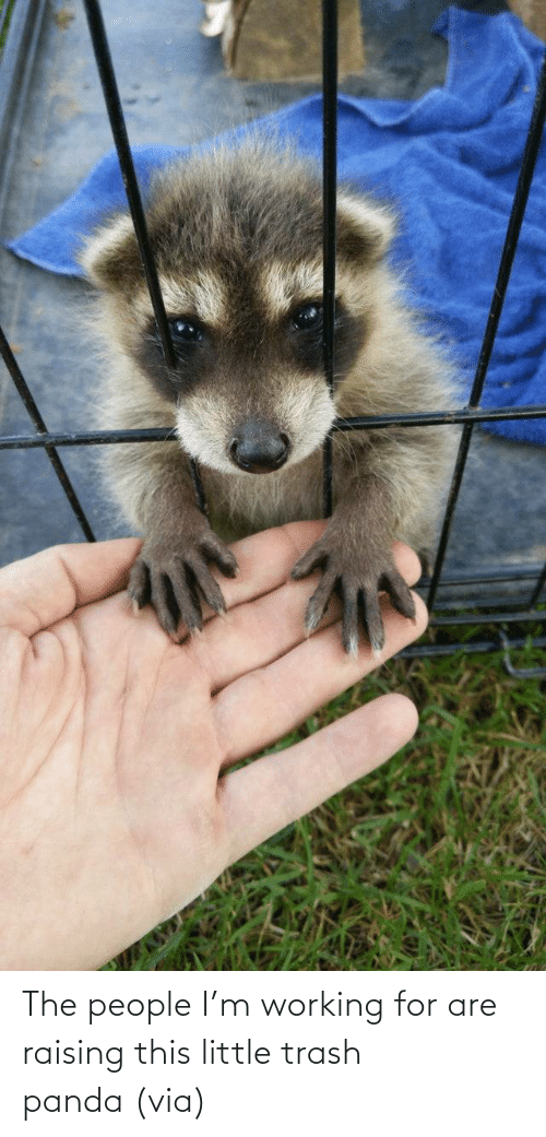 Trash: The people I'm working for are raising this little trash panda (via)