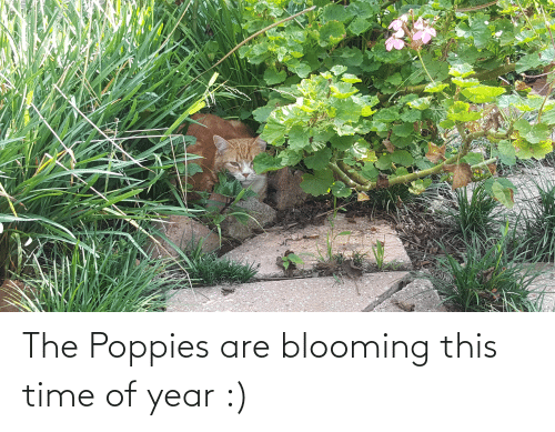 Poppies: The Poppies are blooming this time of year :)