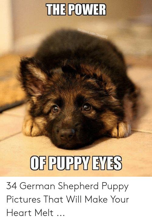 German Shepherd, Heart, and Pictures: THE POWER  hcebook com/TheGsBC  OF PUPPY EYES 34 German Shepherd Puppy Pictures That Will Make Your Heart Melt ...