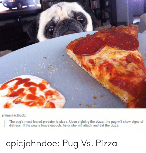 Pizza, Tumblr, and Blog: The pug's most feared predator is pizza. Upon sighting the pizza, the pug will show signs of  distress. If the pug is brave enough, he or she will attack and eat the pizzia epicjohndoe:  Pug Vs. Pizza
