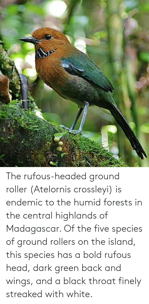 throat: The rufous-headed ground roller (Atelornis crossleyi) is endemic to the humid forests in the central highlands of Madagascar. Of the five species of ground rollers on the island, this species has a bold rufous head, dark green back and wings, and a black throat finely streaked with white.