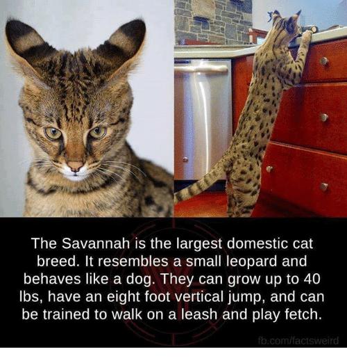 Resemblant: The Savannah is the largest domestic cat  breed. It resembles a small leopard and  behaves like a dog. They can grow up to 40  lbs, have an eight foot vertical jump, and can  be trained to walk on a leash and play fetch.  fb.com/factsweird