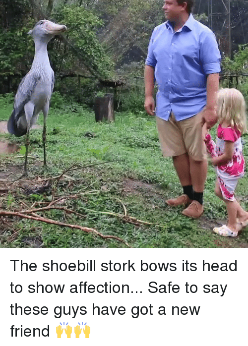 new friend: The shoebill stork bows its head to show affection... Safe to say these guys have got a new friend 🙌🙌