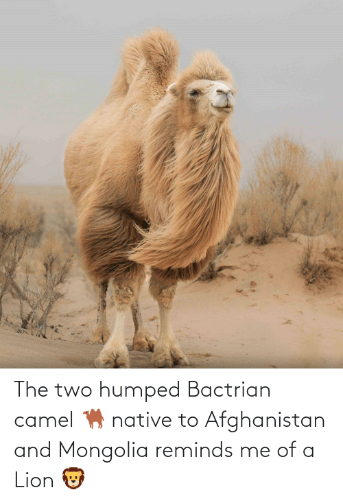 Afghanistan: The two humped Bactrian camel 🐫 native to Afghanistan and Mongolia reminds me of a Lion 🦁