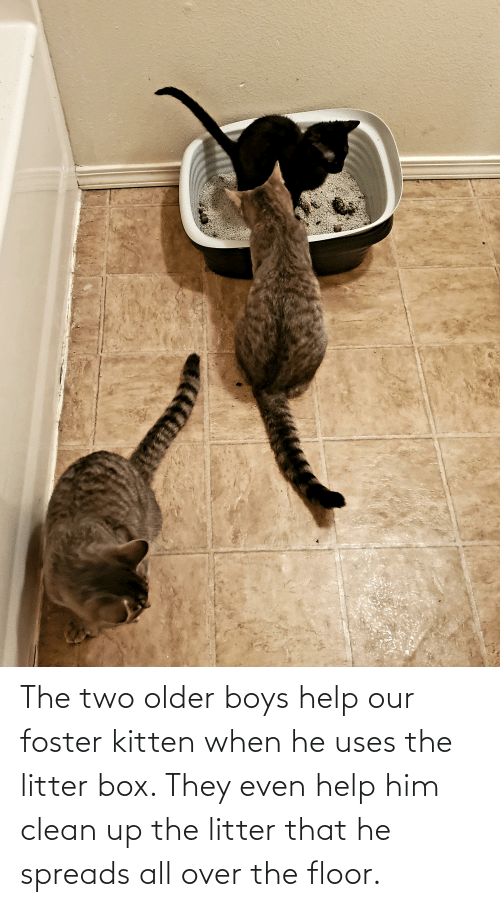 spreads: The two older boys help our foster kitten when he uses the litter box. They even help him clean up the litter that he spreads all over the floor.