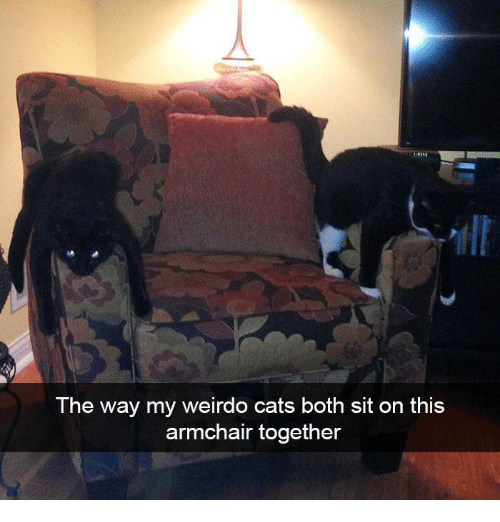 Cats, Memes, and 🤖: The way my weirdo cats both sit on this  armchair together