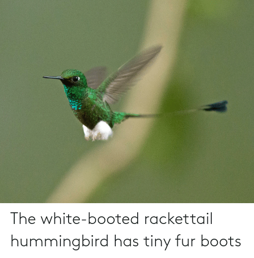 fur: The white-booted rackettail hummingbird has tiny fur boots