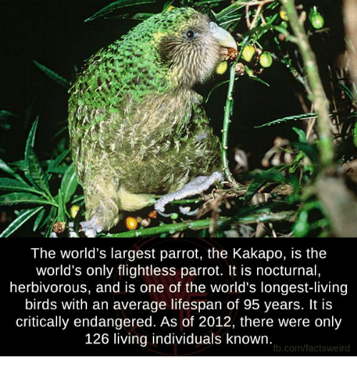 nocturne: The world's largest parrot, the Kakapo, is the  world's only flightless parrot. It is nocturnal,  herbivorous, and is one of the world's longest-living  birds with an average lifespan of 95 years. It is  critically endangered. As of 2012, there were only  126 living individuals known.  fb.com/factsweird