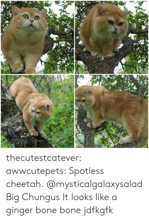Chungus: thecutestcatever:  awwcutepets:  Spotless cheetah.  @mysticalgalaxysalad Big Chungus  It looks like a ginger bone bone jdfkgfk