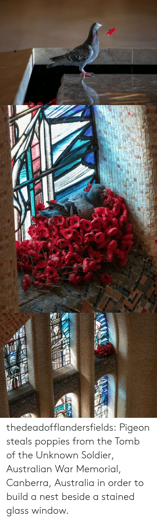 soldier: thedeadofflandersfields:  Pigeon steals poppies from the Tomb of the Unknown Soldier, Australian War Memorial, Canberra, Australia in order to build a nest beside a stained glass window.