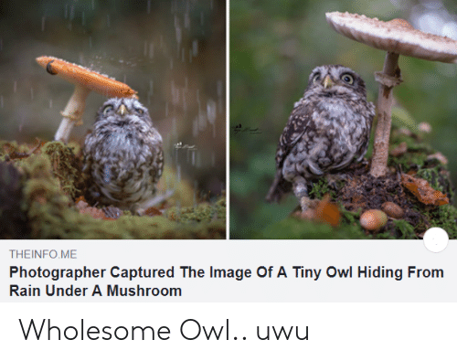 uwu: THEINFO ME  Photographer Captured The Image Of A Tiny Owl Hiding From  Rain Under A Mushroom Wholesome Owl.. uwu