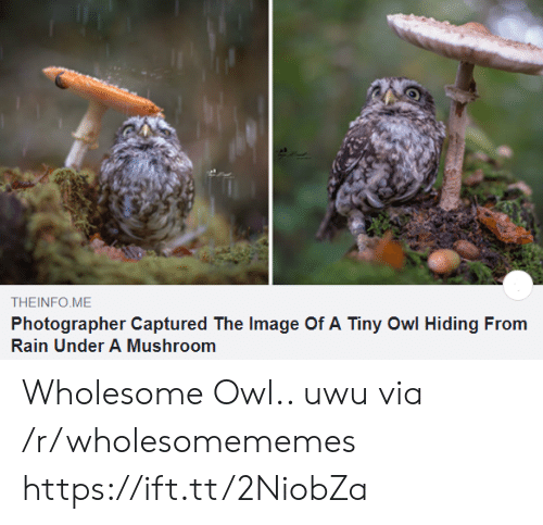 uwu: THEINFO ME  Photographer Captured The Image Of A Tiny Owl Hiding From  Rain Under A Mushroom Wholesome Owl.. uwu via /r/wholesomememes https://ift.tt/2NiobZa