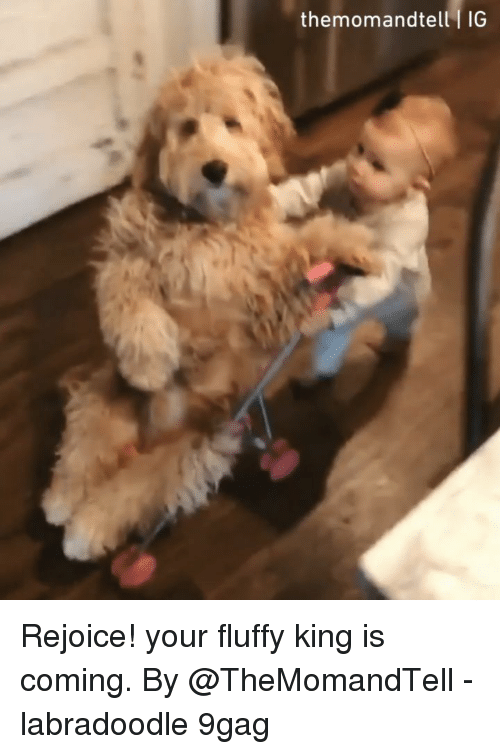 9gag, Memes, and Labradoodle: themomandtell I IG Rejoice! your fluffy king is coming. By @TheMomandTell - labradoodle 9gag