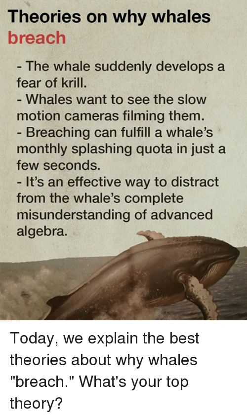 """Distracte: Theories on why whales  breach  The Whale suddenly develops a  fear of krill.  Whales, Want to See the SloW  motion cameras filming them  Breaching can fulfill a whale's  monthly splashing quota in just a  few seconds.  It's an effective way to distract  from the whale's complete  misunderstanding of advanced  algebra. Today, we explain the best theories about why whales """"breach.""""  What's your top theory?"""