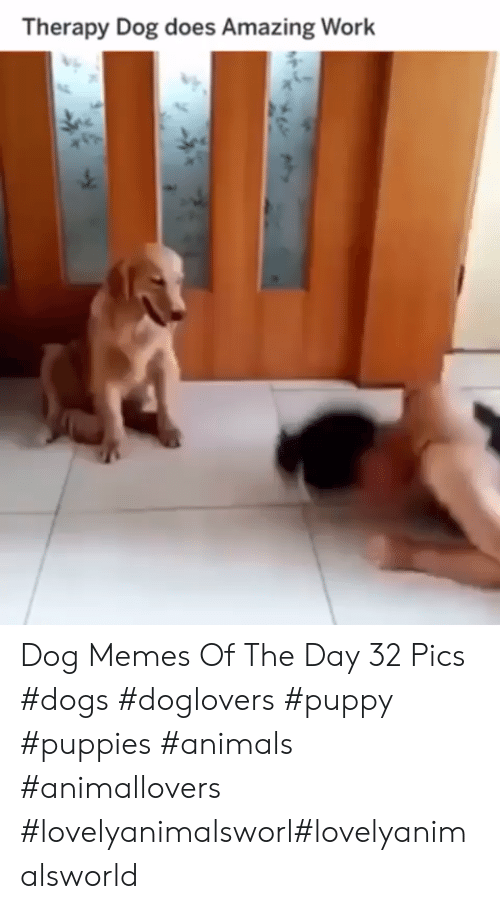 Animals, Dogs, and Memes: Therapy Dog does Amazing Work Dog Memes Of The Day 32 Pics #dogs #doglovers #puppy #puppies #animals #animallovers #lovelyanimalsworl#lovelyanimalsworld