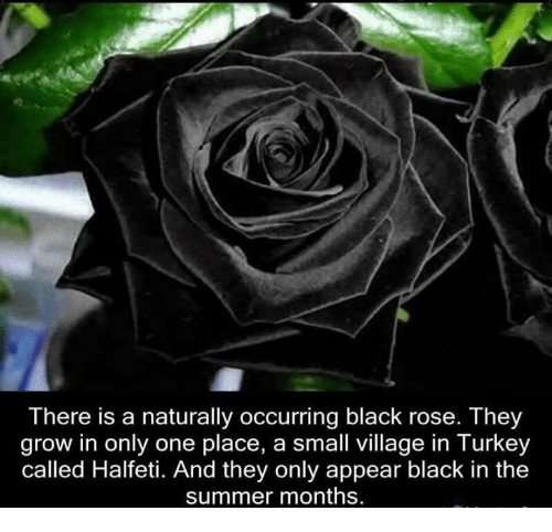black rose: There is a naturally occurring black rose. They  grow in only one place, a small village in Turkey  called Halfeti. And they only appear black in the  summer months.