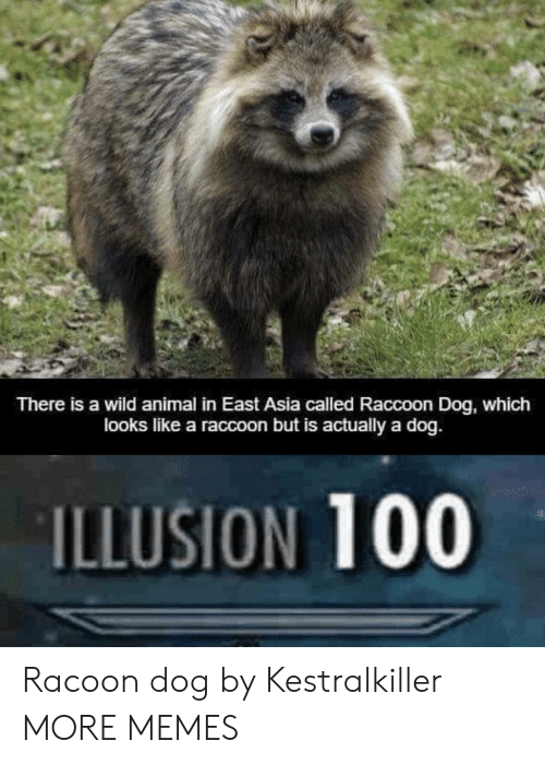 racoon: There is a wild animal in East Asia called Raccoon Dog, which  looks like a raccoon but is actually a dog.  ILLUSION 100 Racoon dog by Kestralkiller MORE MEMES