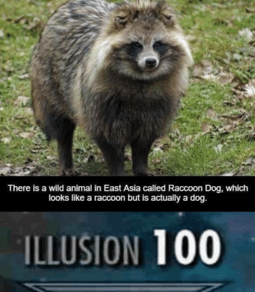 Animal, Raccoon, and Wild: There is a wild animal in East Asia called Raccoon Dog, which  looks like a raccoon but is actually a dog.  ILLUSION 100