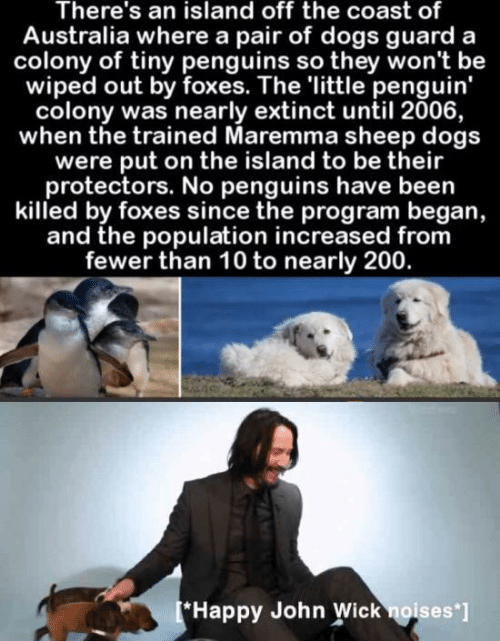 Penguins: There's an island off the coast of  Australia where a pair of dogs guard  colony of tiny penguins so they won't be  wiped out by foxes. The 'little penguin'  colony was nearly extinct until 2006,  when the trained Maremma sheep dogs  were put on the island to be their  protectors. No penguins have been  killed by foxes since the program began,  and the population increased from  fewer than 10 to nearly 200.  [*Happy John Wick noises ]