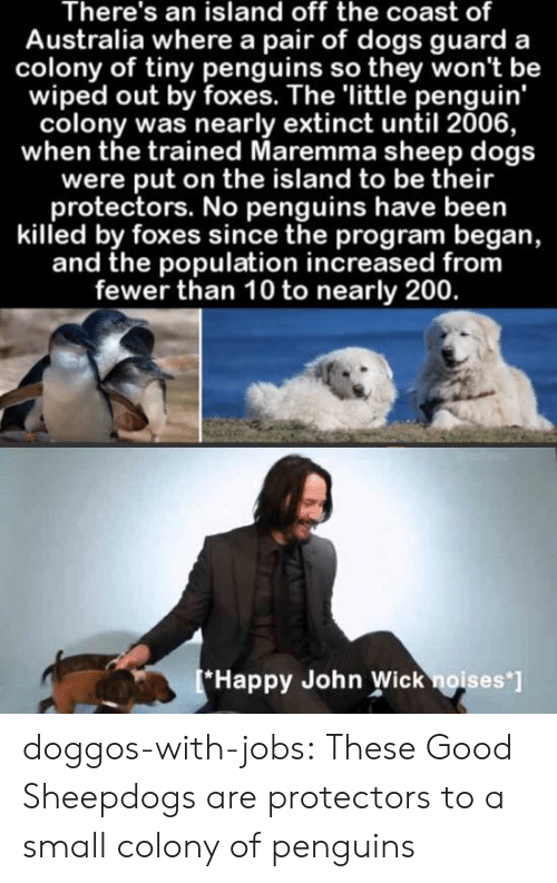Dogs, John Wick, and Tumblr: There's an island off the coast of  Australia where a pair of dogs guard  colony of tiny penguins so they won't be  wiped out by foxes. The 'little penguin'  colony was nearly extinct until 2006,  when the trained Maremma sheep dogs  were put on the island to be their  protectors. No penguins have been  killed by foxes since the program began,  and the population increased from  fewer than 10 to nearly 200.  [*Happy John Wick noises ] doggos-with-jobs:  These Good Sheepdogs are protectors to a small colony of penguins
