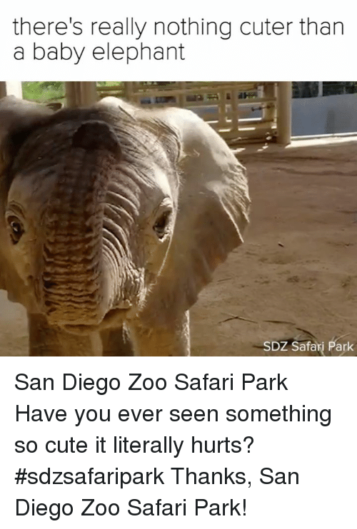 Safari: there's really nothing cuter than  a baby elephant  SDZ Safari Park San Diego Zoo Safari Park  Have you ever seen something so cute it literally hurts? #sdzsafaripark  Thanks, San Diego Zoo Safari Park!