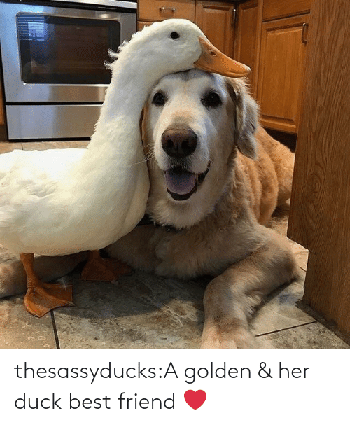 Golden: thesassyducks:A golden & her duck best friend ❤️