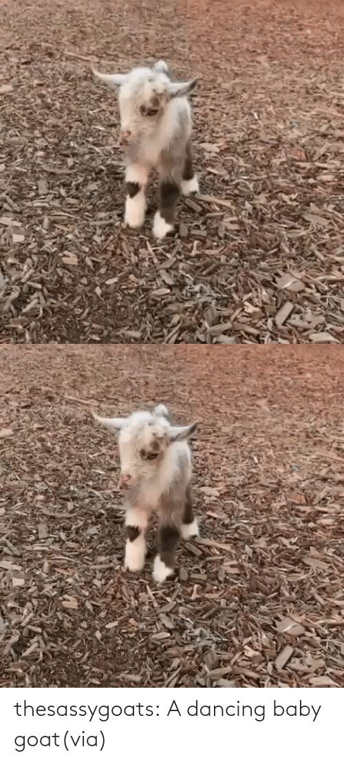 GOAT: thesassygoats:  A dancing baby goat(via)