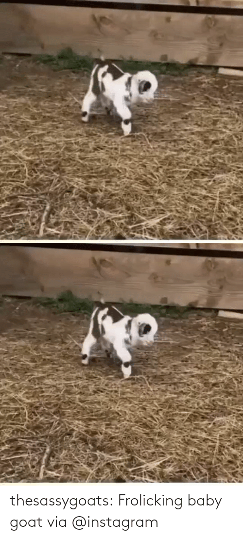 GOAT: thesassygoats: Frolicking baby goat via @instagram