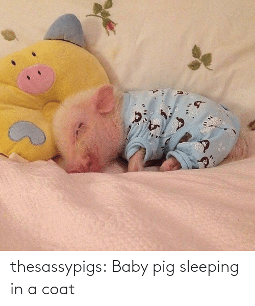 coat: thesassypigs:  Baby pig sleeping in a coat