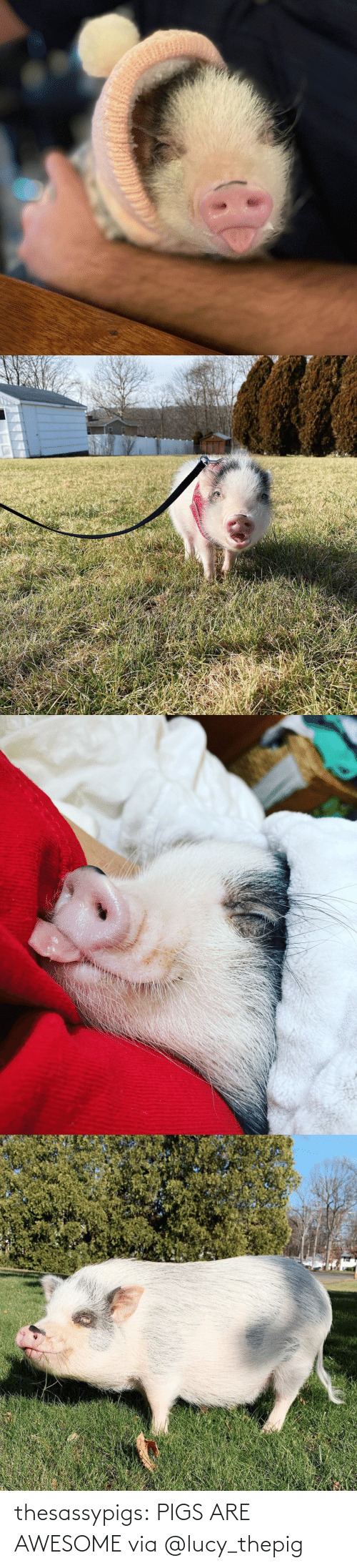 pigs: thesassypigs: PIGS ARE AWESOME via @lucy_thepig