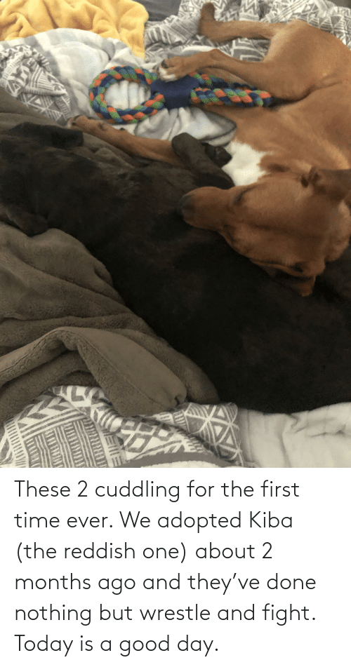 wrestle: These 2 cuddling for the first time ever. We adopted Kiba (the reddish one) about 2 months ago and they've done nothing but wrestle and fight. Today is a good day.