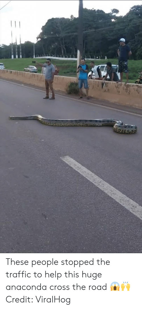 anaconda: These people stopped the traffic to help this huge anaconda cross the road 😱🙌  Credit: ViralHog