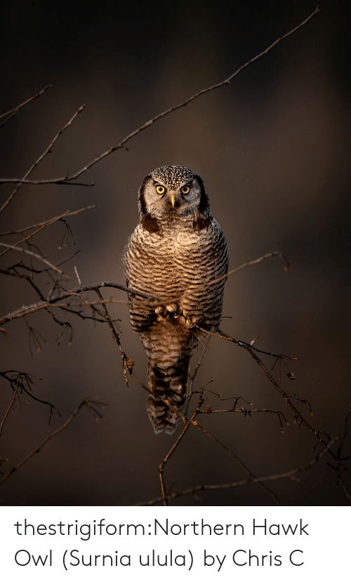 Northern: thestrigiform:Northern Hawk Owl (Surnia ulula) by Chris C