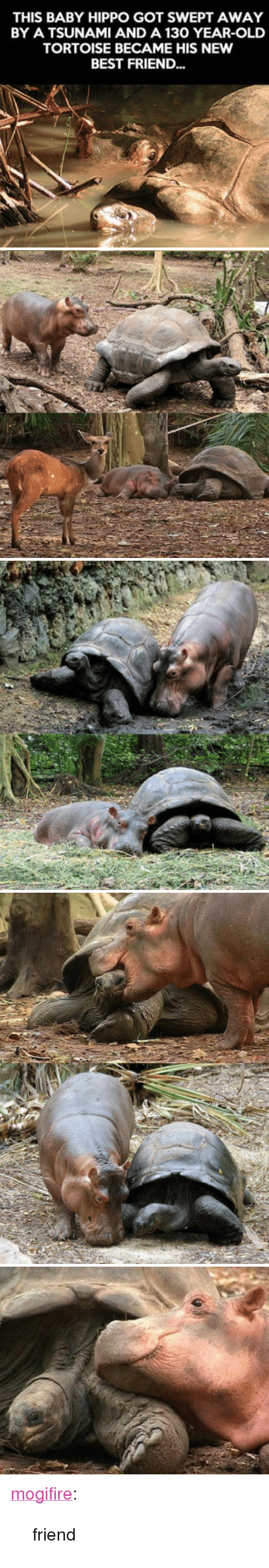 "Baby Hippo: THIS BABY HIPPO GOT SWEPT AWAY  BY A TSUNAMI AND A 130 YEAR-OLD  TORTOISE BECAME HIS NEW  BEST FRIEND... <p><a href=""http://mogifire.tumblr.com/post/157412233739/friend"" class=""tumblr_blog"">mogifire</a>:</p><blockquote><p>friend<br/></p></blockquote>"