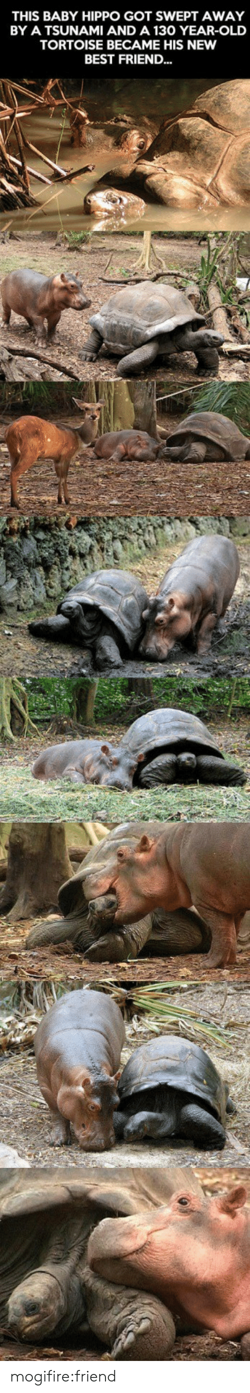 Baby Hippo: THIS BABY HIPPO GOT SWEPT AWAY  BY A TSUNAMI AND A 130 YEAR-OLD  TORTOISE BECAME HIS NEW  BEST FRIEND... mogifire:friend
