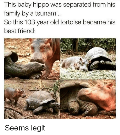 Baby Hippo: This baby hippo was separated from his  family by a tsunami.  So this 103 year old tortoise became his  best friend: Seems legit