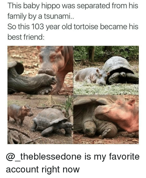Baby Hippo: This baby hippo was separated from his  family by a tsunami  So this 103 year old tortoise became his  best friend @_theblessedone is my favorite account right now