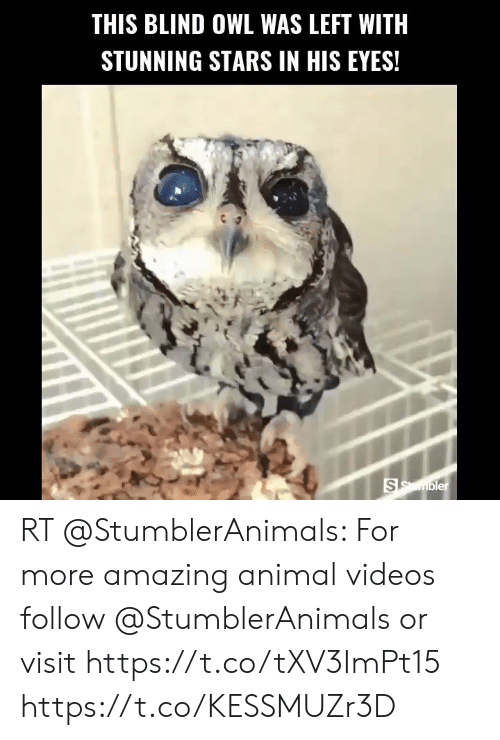 Animal Videos: THIS BLIND OWL WAS LEFT WITH  STUNNING STARS IN HIS EYES!  SSmbler RT @StumblerAnimals: For more amazing animal videos follow @StumblerAnimals or visit https://t.co/tXV3ImPt15 https://t.co/KESSMUZr3D