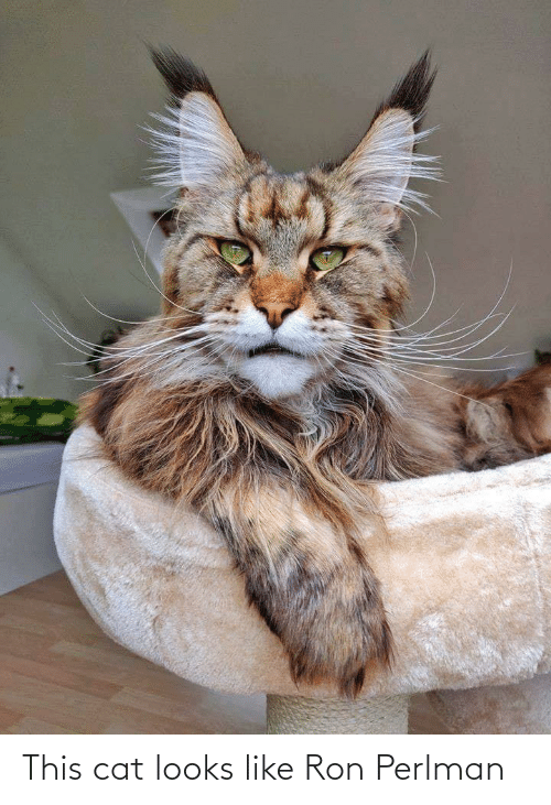 Looks Like: This cat looks like Ron Perlman