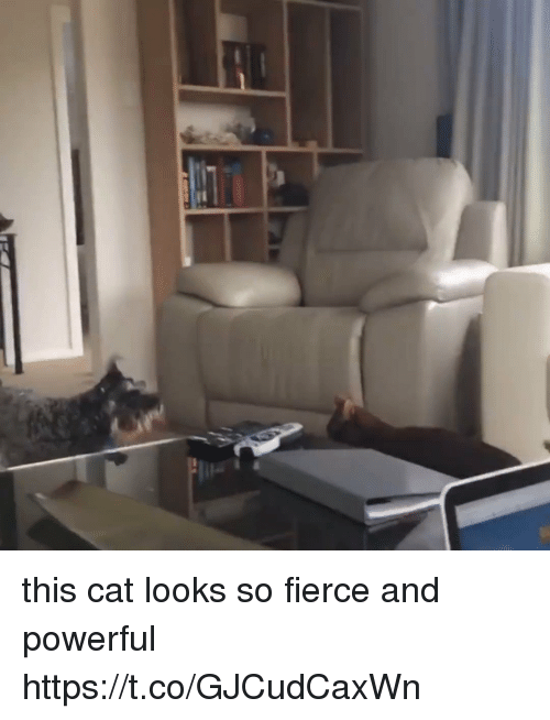 Girl Memes, Powerful, and Cat: this cat looks so fierce and powerful  https://t.co/GJCudCaxWn