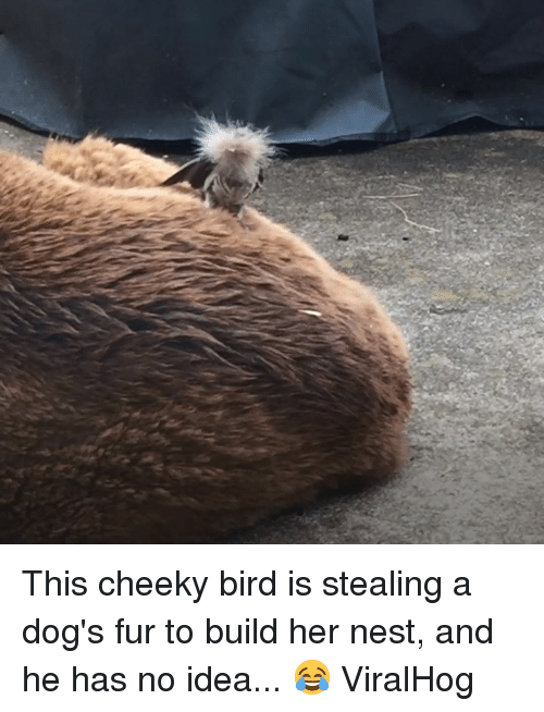 Dogs, Nest, and Idea: This cheeky bird is stealing a dog's fur to build her nest, and he has no idea... 😂  ViralHog
