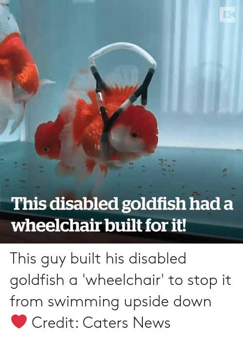 Goldfish, News, and Swimming: This disabled goldfish had a  wheelchair built for it! This guy built his disabled goldfish a 'wheelchair' to stop it from swimming upside down ❤️️  Credit: Caters News