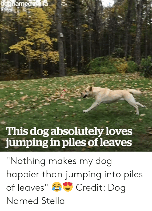 "stella: This dog absolutely loves  jumping in piles of leaves ""Nothing makes my dog happier than jumping into piles of leaves"" 😂😍  Credit: Dog Named Stella"